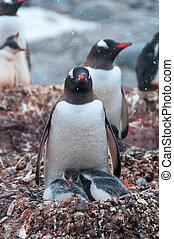 adulto, gentoo, y, polluelos, antártida