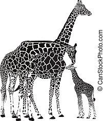 adulto, jirafas, y, giraffe del bebé