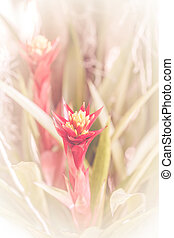 Aechmea fasciata soft focus background