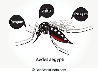 Aedes aegypti mosquito vector. Dengue Zica Chikungunya