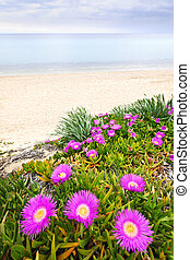 Aegean sea coast in Greece - Sea fig flowers blooming on...