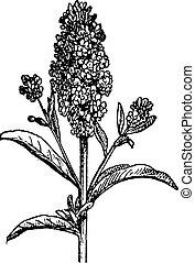 Aegean Wallflower or Erysimum cheiri, vintage engraving -...
