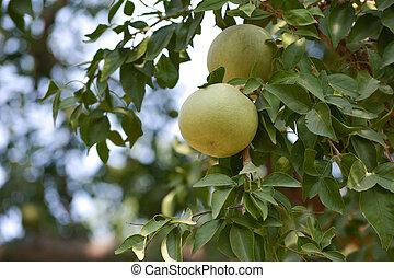 aegle, indische , marmelos, oder, bael, baum- frucht