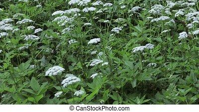 Aegopodium podagraria perennial - Thickets of perennial bush...