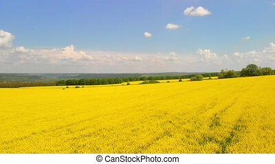 Aerial above view of canola rapeseed field blossoming. Drone...