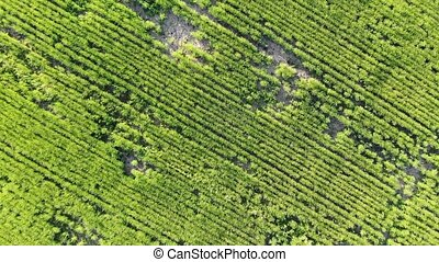Aerial camera flying over a green corn field