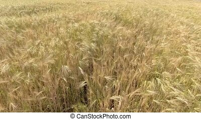 AERIAL CLOSEUP: Flying over the wheat field in afternoon...