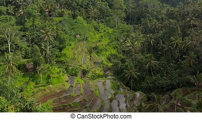Aerial dolly shot flying past remote terrace farm fields and farm houses in thick tropical jungle of Bali