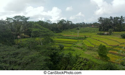 Aerial dolly shot flying towards grassy paddy terraces with farm crops and farmers in tropical weather climate of Bali, Indonesia