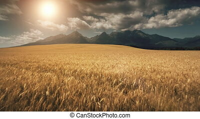 Aerial Drone Flight above ripe yellow wheat field