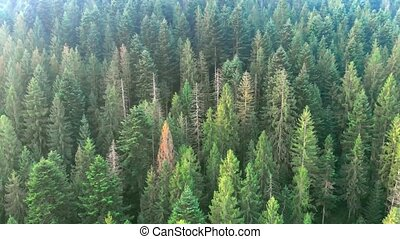 Aerial drone perspective shows a dense, pristine spruce forest