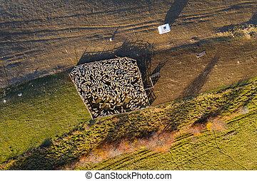 Aerial drone shot of sheep