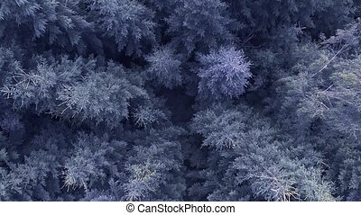 Aerial drone shot over blue Coniferous forest, Shot in 4K...