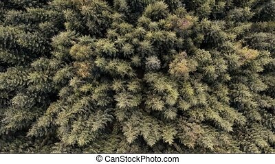 Aerial drone shot over Coniferous forest