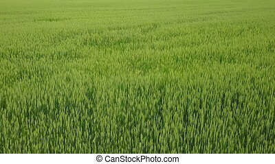 Aerial Drone Shot over Large Green Wheat Field against the...