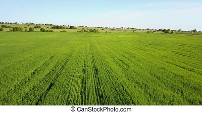 Aerial Drone Shot over Large Green Wheat Field