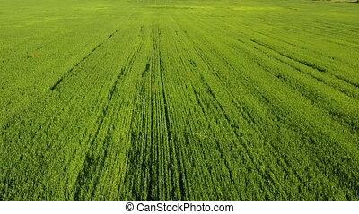 Aerial Drone Shot over Large Green Wheat Field,