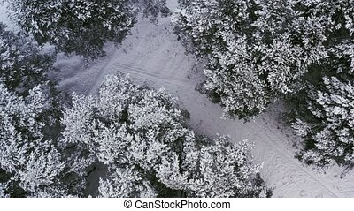 Aerial: Flight above winter forest. Pines covered with snow....