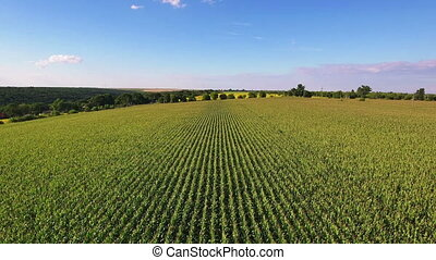 Aerial flight over corn field