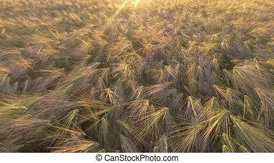 AERIAL. Flight over the wheat field in sunrise