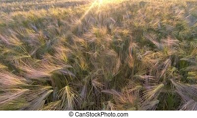 AERIAL. Flight over the wheat field in sunrise.