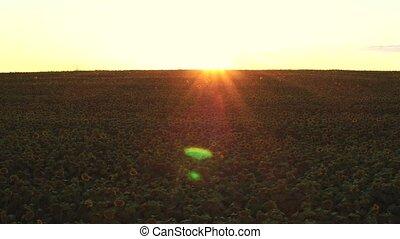 aerial., flug, aus, a, feld sonnenblumen, an, sonnenuntergang