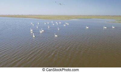 Aerial flying near swan bevy