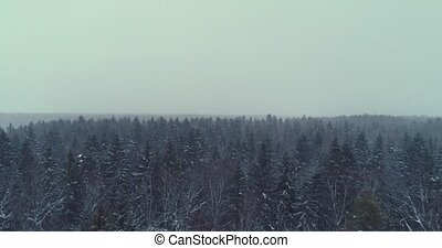 Aerial flyover frozen snowy spruce forest. Spruce forest