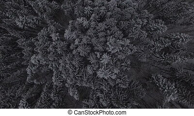 Aerial footage of the winter snow coniferous Christmas forest. 4k