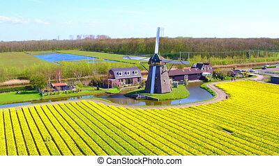 Aerial from blossoming tulip field and a traditional...
