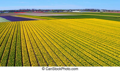 Aerial from blossoming tulip fields in the countryside from...