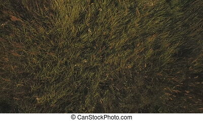 Aerial:green field in countryside. Flying over the meadow on a summer day. Field of grass.