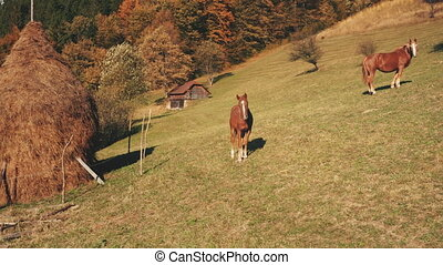 Aerial of horses at mountain grass valley. Autumn countryside nature landscape. Farm animals biodiversity. Leafy trees at green pastures. Haystack at forest. Carpathian mounts, Ukraine, Europe