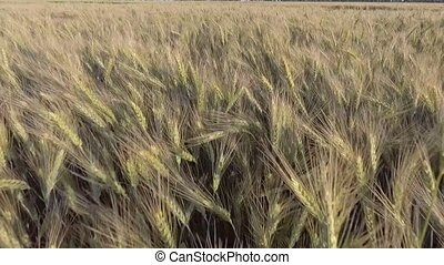 AERIAL: Low flight over wheat.