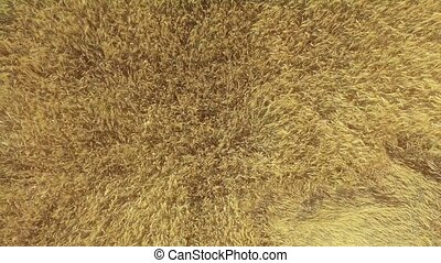 AERIAL: Low flight over wheat