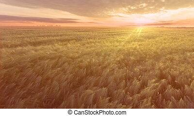 aerial., menekülés, felett, a, búza terep, alatt, napkelte