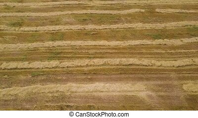 Aerial of agricultural fields after harvest. Stripes of straw on the field