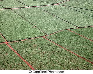 Aerial of sugarcane crops fields