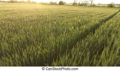 Aerial of the alive green wheat field from a low flying...