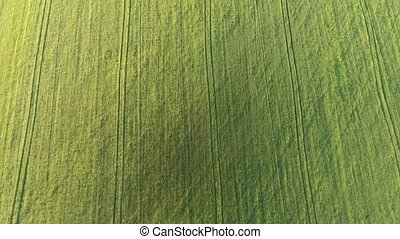 Aerial of the cheerful green wheat agro area from a high...