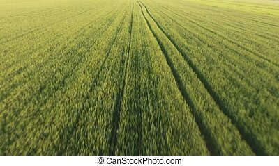 Aerial of the cheerful green wheat field with moving spikelets on a sunny day