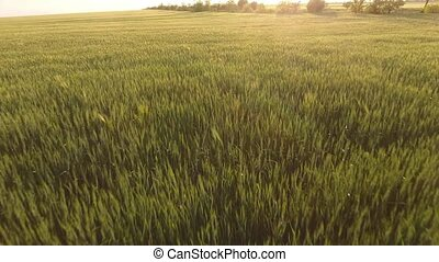 Aerial of the cheery green wheat meadow with waving...