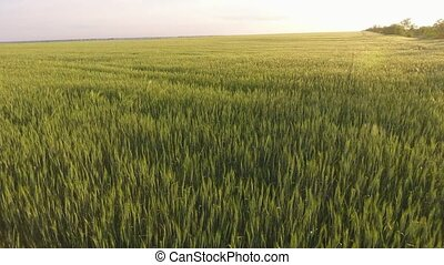 Aerial of the great green wheat field with waving plants at...
