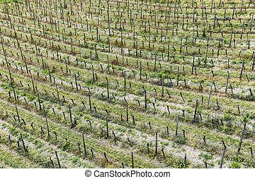 aerial of vineyard in spring with growing vine prages in...