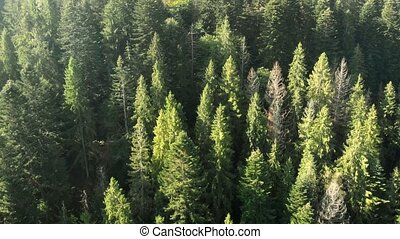 Aerial perspective of spruce forest with tall trees, in Ukrainian Mountains