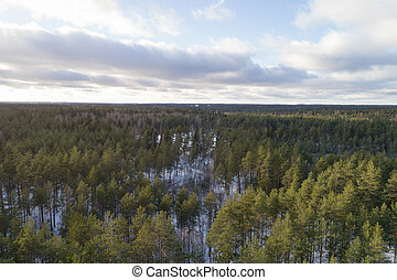 Aerial photo of winter pine forest in daylight
