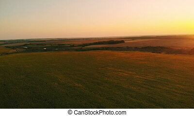 Aerial photography of a sunflower field at sunset. Green...