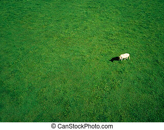 Aerial Photography of Cow Grazing In Grassy Field On Summer