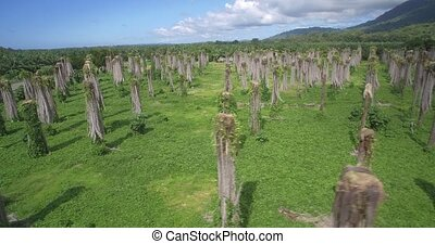 Aerial, Plantage Of Leafless Palms, Costa Rica - Native...