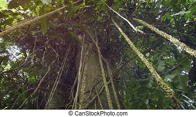Aerial roots hang from the high branches of a mature, tropical tree in the jungle, allowing the tree to spread. FullHD 1080p video